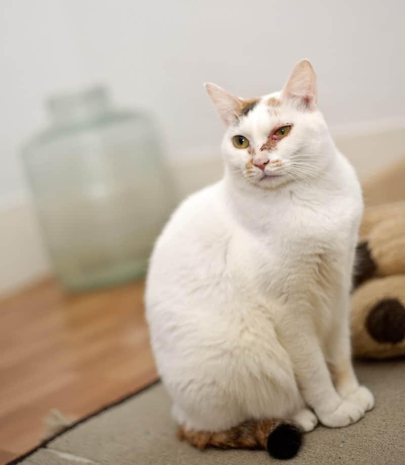 Ropa w oku kota
