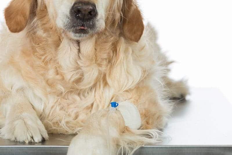 Wgłobienie jelita u psa