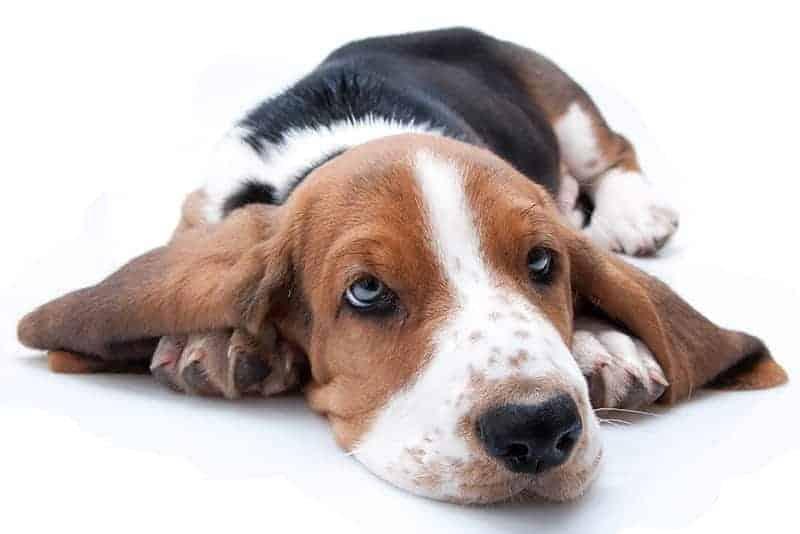 Krwiak ucha u psa objawy