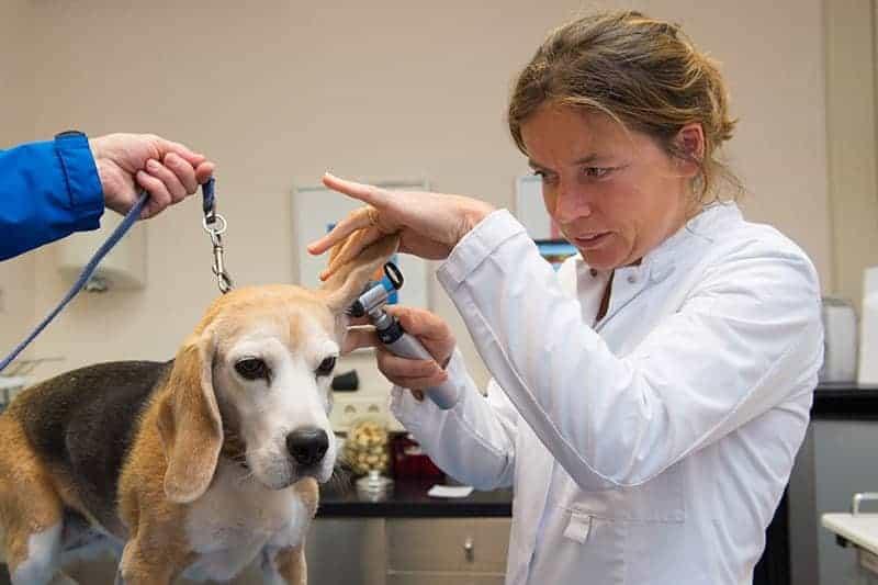 Krwiak ucha u psa