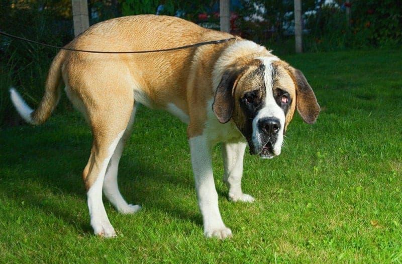 Zespół wobblera u psa objawy