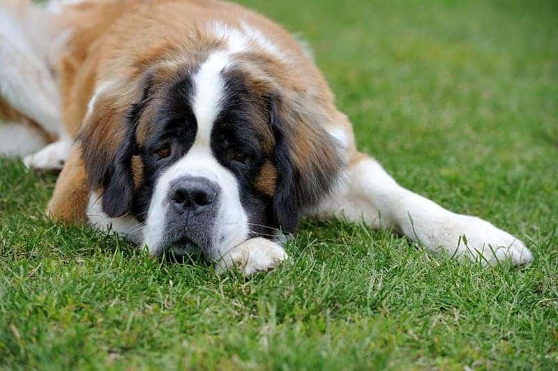 Które psy są predysponowane?