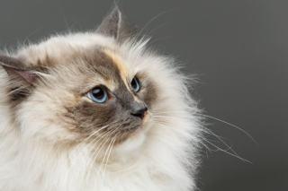 Wypadanie sierści u kota