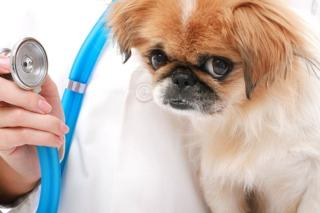 Choroby serca u psa