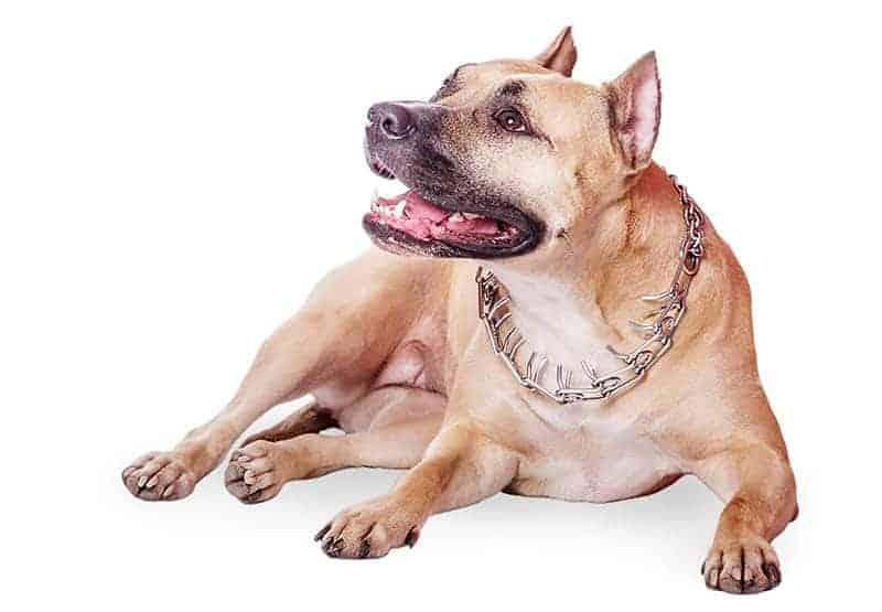 Kolczatka dla psa: dlaczego NIE należy jej stosować