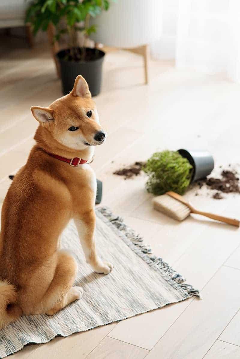 Czy pies czuje wyrzuty sumienia?
