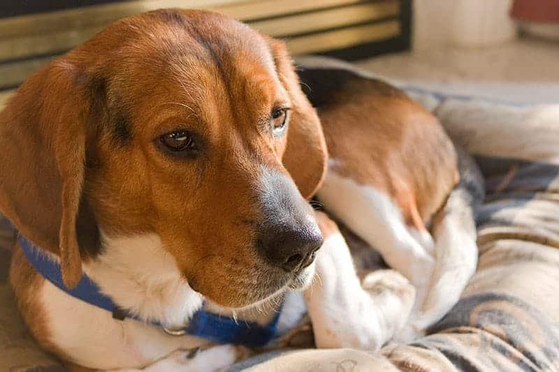 Jak przygotować psa na powrót do normalnego trybu życia?