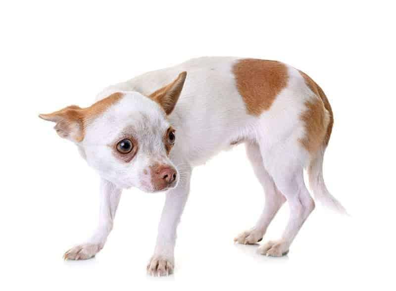 Czy psom lękliwym można pomóc?