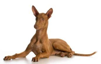 Pies faraona