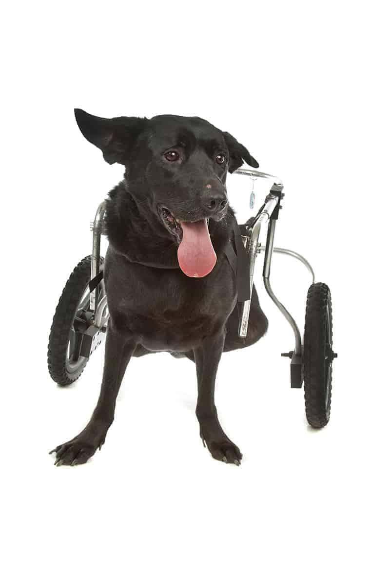 Wózek inwalidzki dla psa i kota