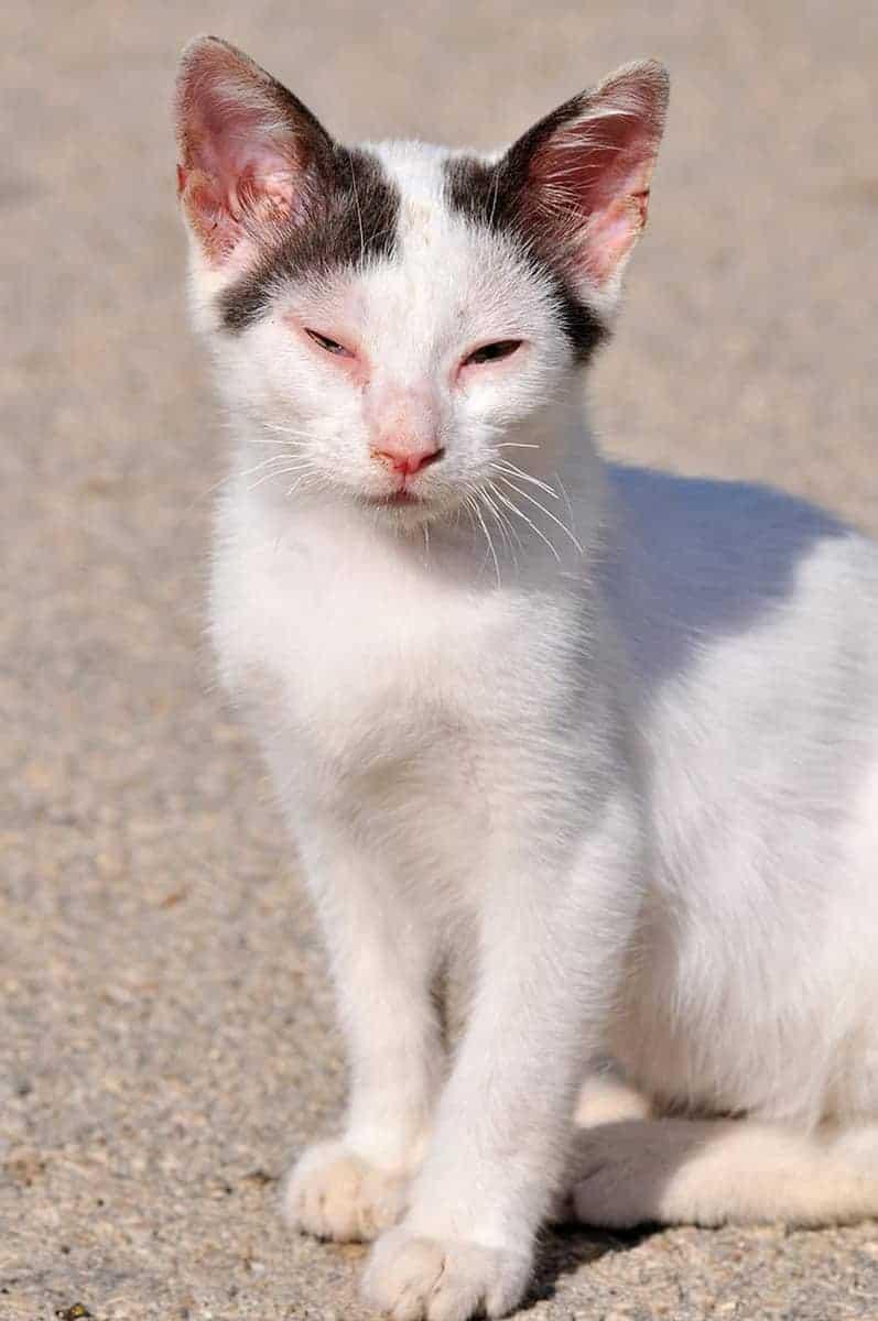 Herpeswirus u kota objawy