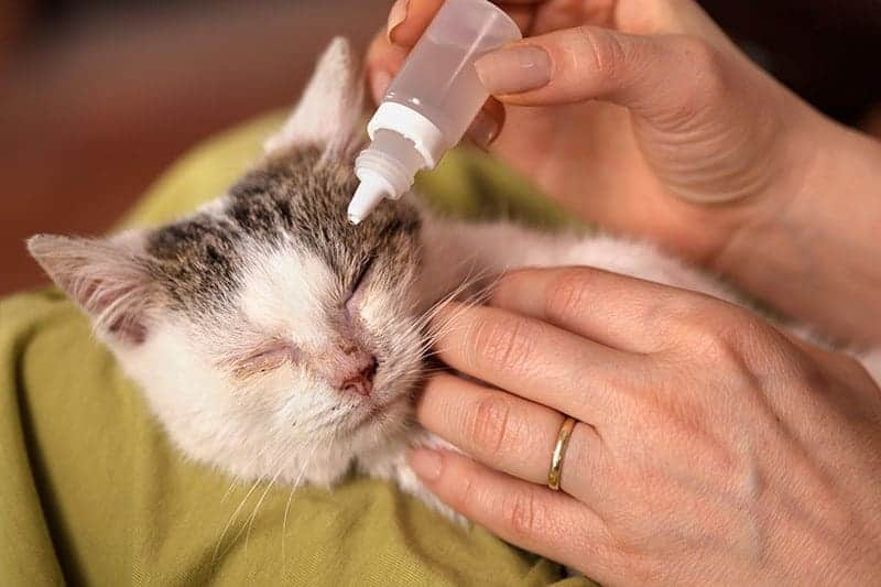 Kaliciwiroza u kota leczenie