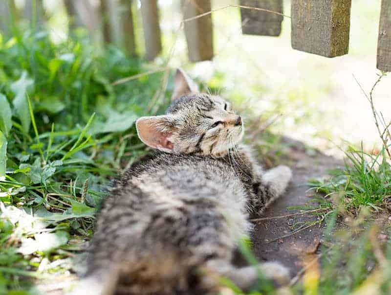 Kaliciwiroza u kota objawy