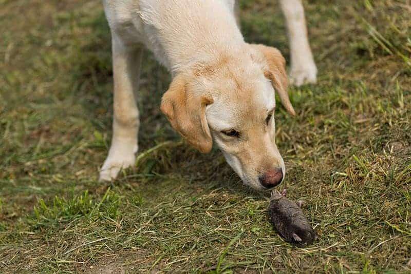 Pies zjada odpadki z trawnika