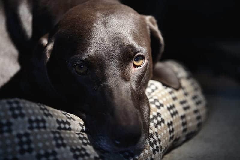 Nowotwór jądra u psa objawy