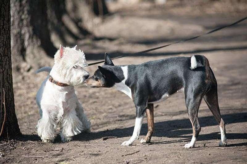Pies podbiegacz