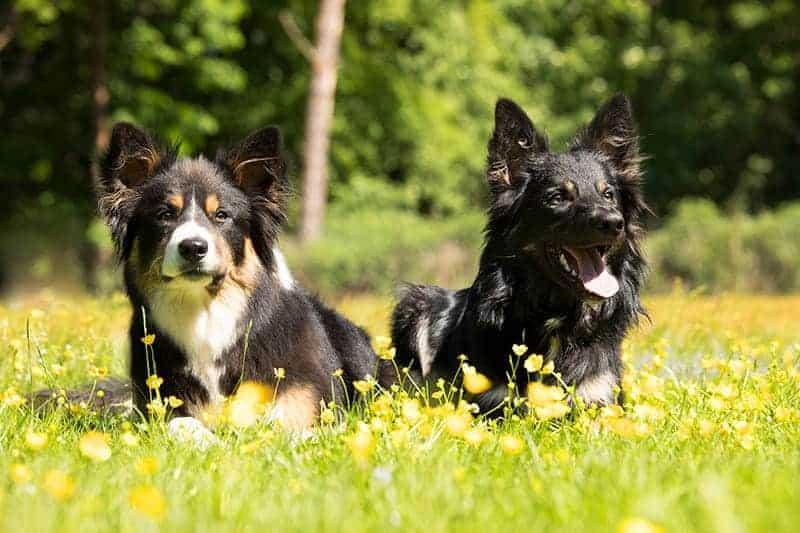 Trening z dwoma psami: początki