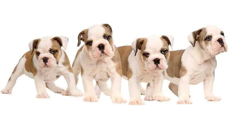 Ile kosztuje pies?