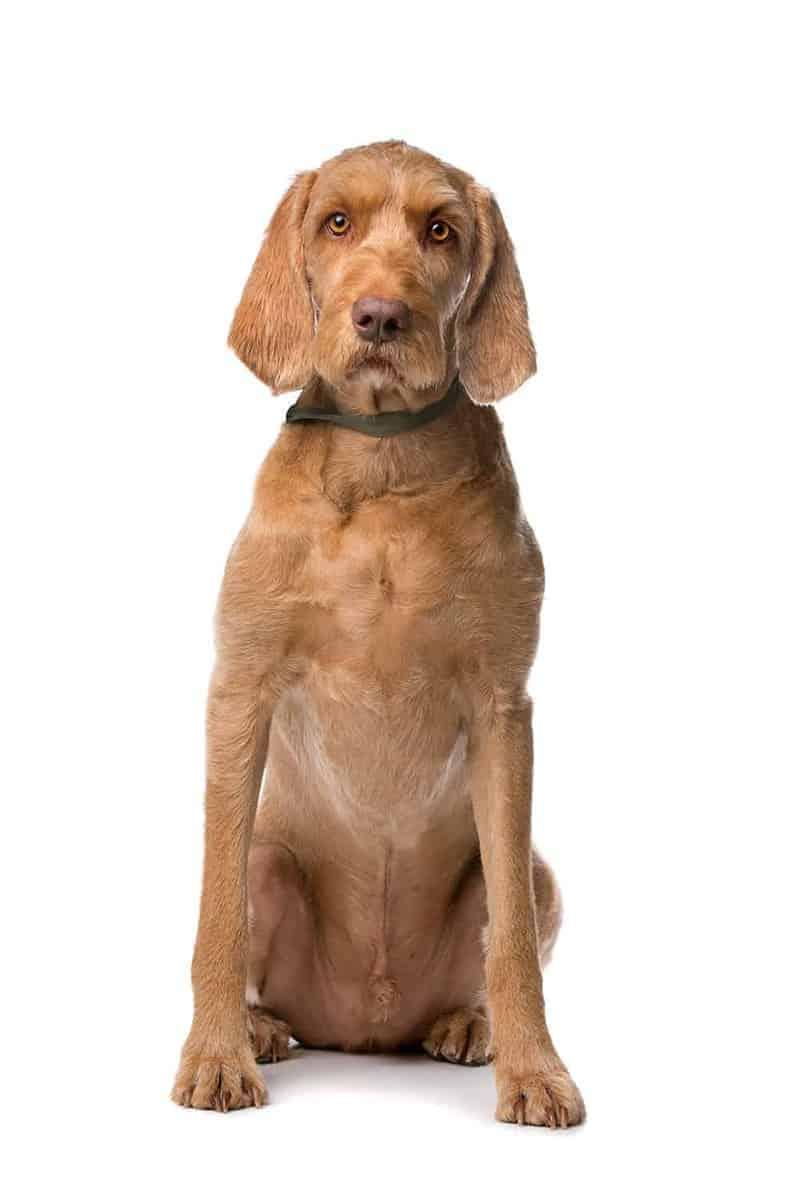 Wygląd psa