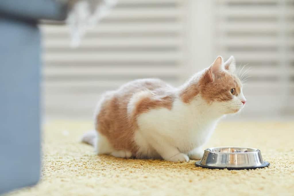 Karmienie kota