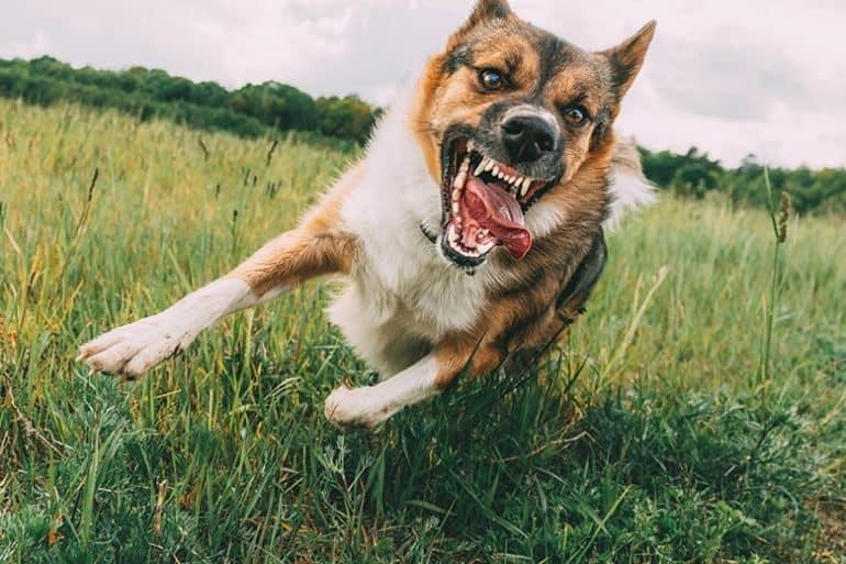 Psy, które atakują ludzi