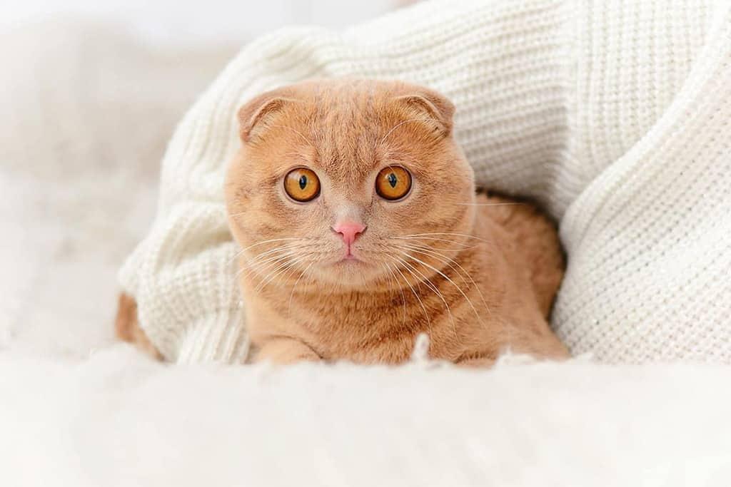 Ile kosztuje kot rasowy?