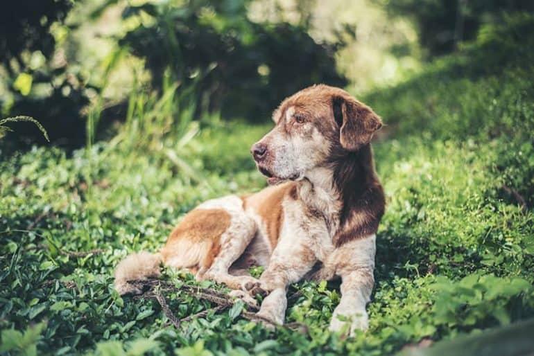 Miastenia u psa