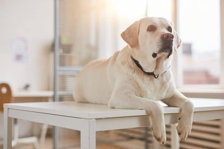 Miastenia u psa: jak rozpoznać i leczyć nużliwość mięśni? ⋆ co w sierści piszczy