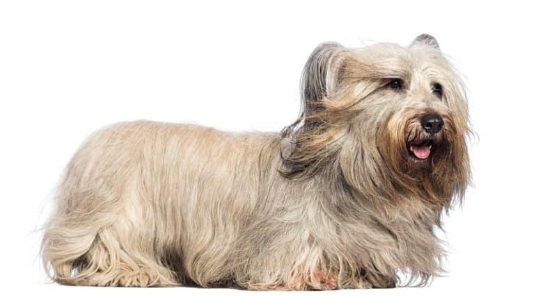 Skye terrier opis rasy