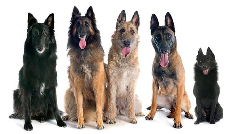 Rasy belgijskich psów pasterskich