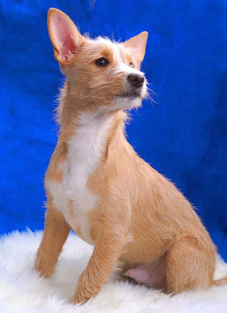 Charakter psów rasy podengo portugalski