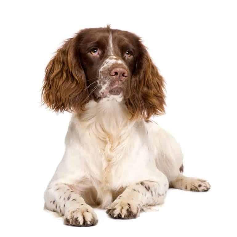 Wygląd psa rasy springer spaniel angielski